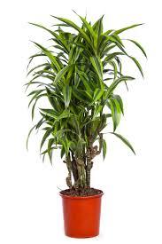 House Plant Dracaena Group U2014 Ti Trees D Draco And Other Dracaena