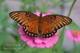 gulf fritillary butterflies size nectar plants host plants