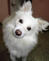 american eskimo dog vs pomeranian 10 interesting dog breeds that originate in india morganslists