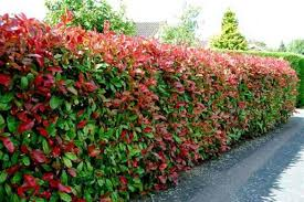 Flowering Privacy Shrubs - 3 tips for adding privacy to your yard with trees and shrubs