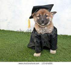 dog graduation cap shiba inu puppy wearing graduating stock photo 131424260