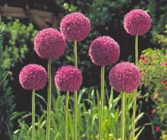 deer resistant bulbs pictures to pin on clanek