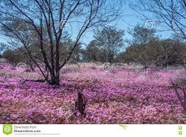 native plants western australia western australia native wildflowers pink everlasting daisies