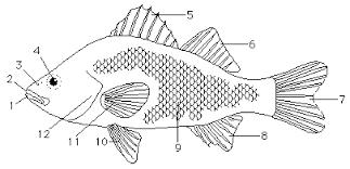 focus sheet supplement shape chordate anatomy