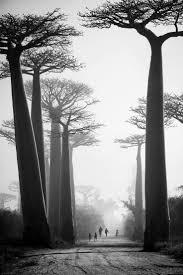 native plants of madagascar 104 best baobab the tree of life images on pinterest madagascar