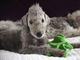 bedlington terrier stud bedlington terrier puppies for sale bedlington terrier puppies