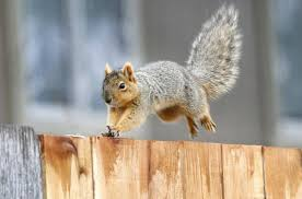 Garden Rodents Types Eastern Gray Is A Threat To Washington Native Species But Still