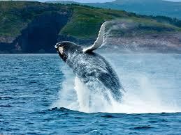 whale watching newfoundland and labrador canada