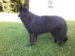 belgian sheepdog height belgian sheepdog groenendaeler or german shepherd