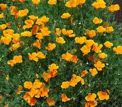 california poppy eschscholzia californica seeds