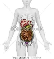 Female Abdominal Anatomy Pictures Stock Illustration Of Anatomy Of Female Abdomen Anatomy Of