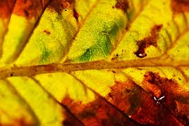 macro of an autumn leaf free stock photo public domain pictures