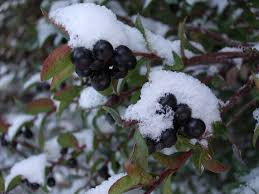 native plants of pacific northwest edible native berries the pacific northwest is ideal for growing