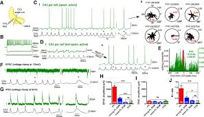 excitatory inputs determine phase locking strength and spike