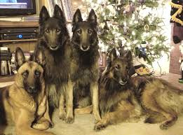 belgian sheepdog breeders europe belgian shepherd dog tervuren information