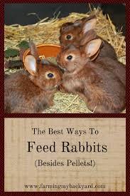 raising meat rabbits farming my backyard