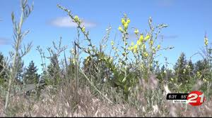 central oregon native plants pulling a problem noxious weeds a c oregon target ktvz