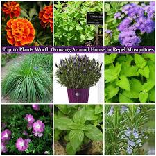mosquito plants 10 plants worth growing around house to repel mosquitoes great