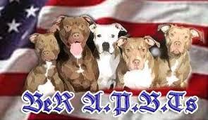 america pit bull terrier club be r american pit bull terrier u0026 patterdale terrier