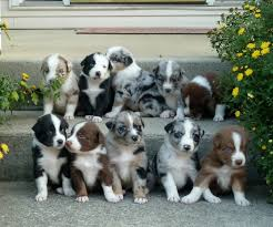 mini australian shepherd 8 weeks sell dogs clare sell puppies clare buy and sell puppies in clare