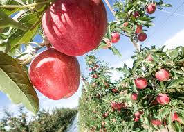 feed or foes livestock can be trained to eat the nuisance plants news good fruit grower part 9