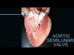 Sheep Heart Anatomy Quiz Ap2 Heart Anatomy Quiz Aortic Semilunar Valve Avi Youtube