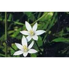 of bethlehem flower of bethlehem bach flower remedy herbs