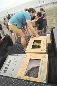 a new home cape cod sea turtles return to ocean off jekyll
