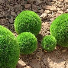 Outdoor Topiary Trees Wholesale - download best plants for topiary solidaria garden