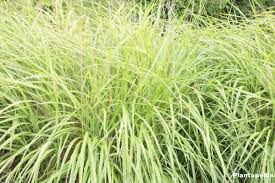 miscanthus sinensis silver grass plant care how to grow