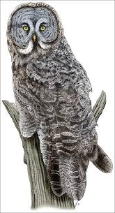 great gray owl strix nebulosa line art and full color illustrations