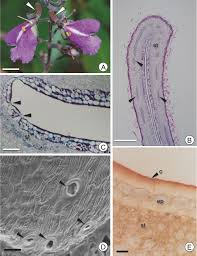 appendicular origin and structure of the spur of vochysiaceae flowers