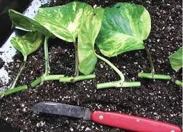 10 Vegetables U0026 Herbs You by 20 Plants And Herbs Which You Can Grow From Cuttings