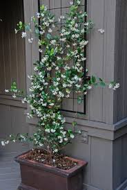 Trellis With Vines Best 25 Vines Ideas On Pinterest Wisteria Tree Wysteria Tree