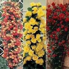cheap climbing roses for sale online buy a climbing rose plant