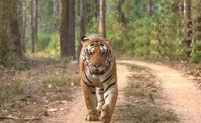 india tiger trail india tiger safari indian tigers trail tiger