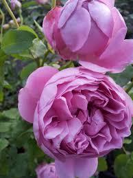 princess alexandra of kent u2013 david austin modern shrub rose of