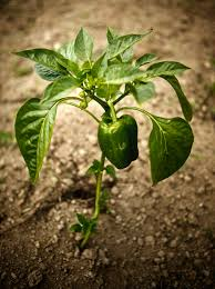 common pepper plant problems vegetable garden pepper and plants