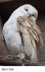 Barn Owl Sounds 25 Best Memes About Barn Owl Barn Owl Memes