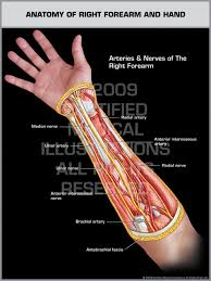Anatomy Of The Right Arm Of Right Forearm U0026 Hand