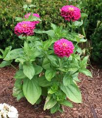 Zinnia Flower Common Zinnia Umass Amherst Greenhouse Crops And Floriculture