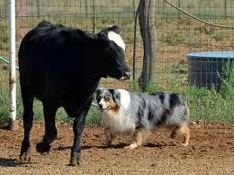 slash v australian shepherds australian shepherd herding cattle i love seeing any breed do