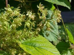 hop humulus lupulus flowers naturegate