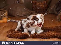 t r australian shepherds australian shepherd two puppies playing stock photos u0026 australian