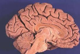 Gross Brain Anatomy Gross Brain Atlas Medial View Of Brain