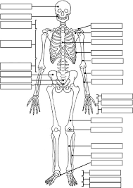 skeleton label worksheet with answer key classroom pinterest