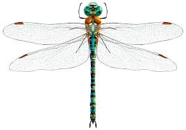dragonfly clipart png