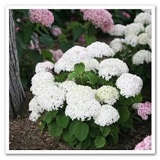 white hydrangea hydrangea invincibelle wee white smooth hydrangea sugar creek