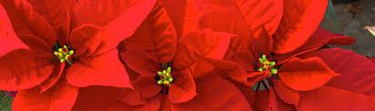 native rainforest plants species profile poinsettia euphorbia pulcherrima rainforest