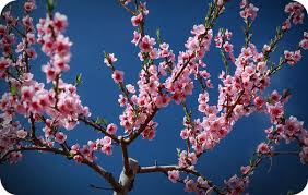 cherry blossom ideas and meanings